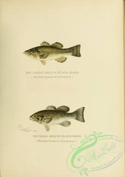 fishes-04320 - Large-mouth Black Bass, micropterus salmoides, Small-mouth Black Bass, micropterus dolomieu