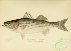 fishes-04322 - Striped Bass, roccus lineatus