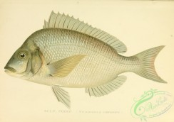 fishes-04364 - Scup, Porgy, stenotomus chrysops