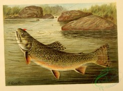 fishes-04754 - Brook Trout