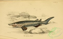 fishes-04784 - Spinous Shark