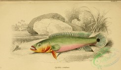fishes-04838 - cychla rutilans