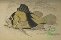 fishes-04897 - 010-Two Banded Diploprion, diploprion bifaciatum