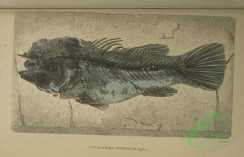 fishes-04919 - 034-cyclopoma spinosum