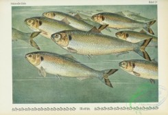fishes-04957 - alosa vulgaris