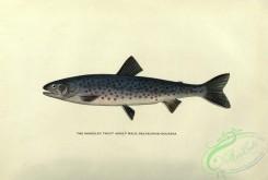 fishes-05290 - Rangeley Trout, salvelinus oquassa