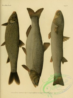 fishes-05742 - 004-Barbel Chub, leuciscus teretiusculus, leptocephalus mongolensis, So-Iuy Mullet, mugil so-iuy