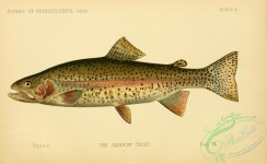 fishes-05786 - Rainbow Trout