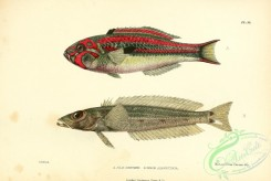 fishes-05795 - julis guentheri, Whitespot Sandsmelt, percis alboguttata