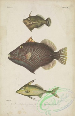 fishes-06644 - 128-Bristle-Tail File-Fish, monacanthus tomentosus, Orange-Lined Triggerfish, balistes lineatus, Long-Spined Tripodfish, triacanthus strigilifer