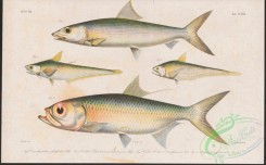 fishes-06693 - 039-conorhynchus glossodon, Lindman'S Grenadier Anchovy, coilia lindmani, Goldspotted Grenadier Anchovy, coilia dussumieri, Indo-Pacific Tarpon, megalops cyprinoides, Indo-Pacific Tarpon, magalops cyprinoides