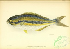 fishes-06721 - 020-Bluestriped Chub, sectator azureus