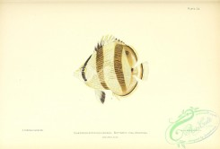 fishes-06808 - 034-Butterfly-fish, chaetodon striatus