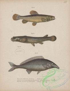 fishes-06985 - 010-erythrinus malabaricus, Largescale Foureyes, anableps tetrophthalmus, Elephant-Snout Fish, mormyrus oxyrhynchus