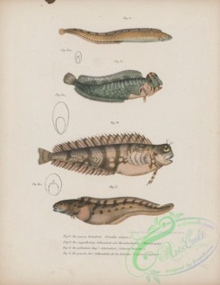 fishes-07014 - 039-gunellus vulgaris, Peacock Blenny, blennius pavo, Jewelled Blenny, salarias fasciatus, Eelpout, zoarces viviparus