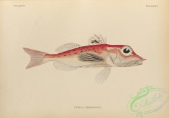 fishes-07191 - 024-Blackspotted Gurnard, trigla hemisticta
