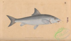 fishes-07361 - 018-Barbel