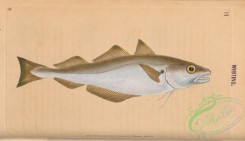 fishes-07409 - 011-Whiting