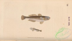 fishes-07423 - 025-Black Goby