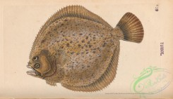 fishes-07437 - 039-Turbot