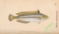 fishes-07447 - 049-Indented-striped Wrasse