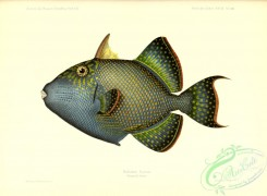 fishes-07599 - 028-Yellow-Spotted Triggerfish, balistes fuscus