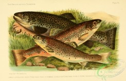 fishes_best-00005 - LOCHLEVEN TROUT