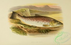 fishes_best-00016 - GREAT LAKE TROUT