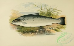 fishes_best-00021 - SALMON TROUT