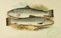 fishes_best-00025 - SHORT-HEADED SALMON, SILVERY SALMON