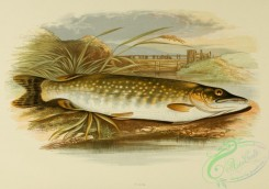 fishes_best-00042 - PIKE