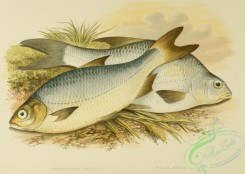 fishes_best-00043 - POMERANIAN BREAM, WHITE BREAM