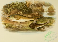 fishes_best-00046 - RUFFE, MILLER'S THUMB