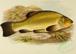 fishes_best-00049 - TENCH