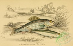fishes_best-00074 - Smelt, Sparling, Grayling