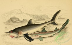 fishes_best-00075 - Smooth Hound, Porbeagle