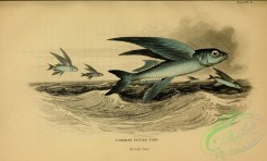 fishes_best-00092 - Common Flying Fish
