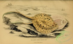 fishes_best-00098 - Halgan's Spine-tailed Ray