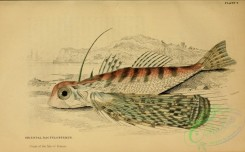 fishes_best-00106 - Oriental Dactylopterus