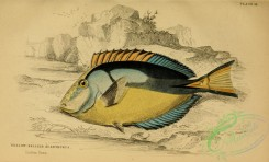 fishes_best-00115 - Yellow-bellied Acanthurus
