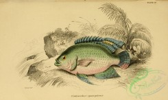 fishes_best-00120 - centrarchus cyanopterus