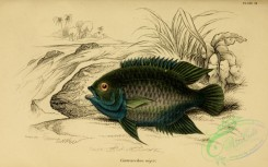 fishes_best-00122 - centrarchus niger