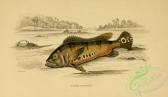 fishes_best-00127 - cychla monoculus