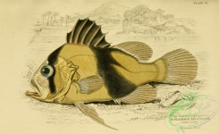 fishes_best-00155 - 010-Two Banded Diploprion, diploprion bifaciatum