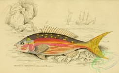 fishes_best-00170 - 025-Golden-tailed Mesoprion, mesoprion chrysurus