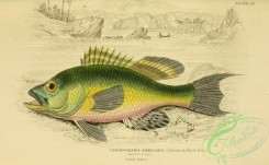 fishes_best-00173 - 028-American Black Bass, centropristes nigricanus