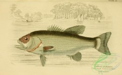 fishes_best-00174 - 029-Salmon-formed Growler, grystes salmoides