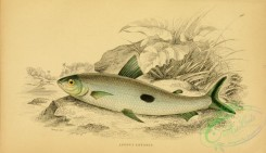 fishes_best-00188 - hemiodus unimaculatus (L)