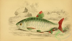 fishes_best-00197 - Pinktail Chalceus