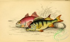 fishes_best-00214 - Common Perch, Common Basse